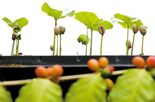 열대지역에서 자라는 커피나무를 강원도 강릉에서 볼 수 있다?  국내 최초로 커피나무 재배에 성공한 이 농장에서는 매년 10월 커피축제도 함께 열린다고 하네요~
