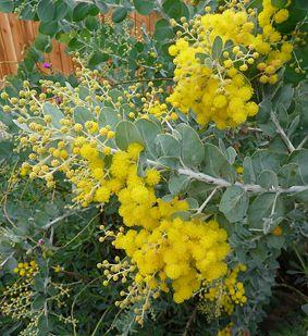 "Small tree or shrub Acacia podalyriifolia ""Pearl Acacia"" ""Silver Wattle"" Drought tolerant"