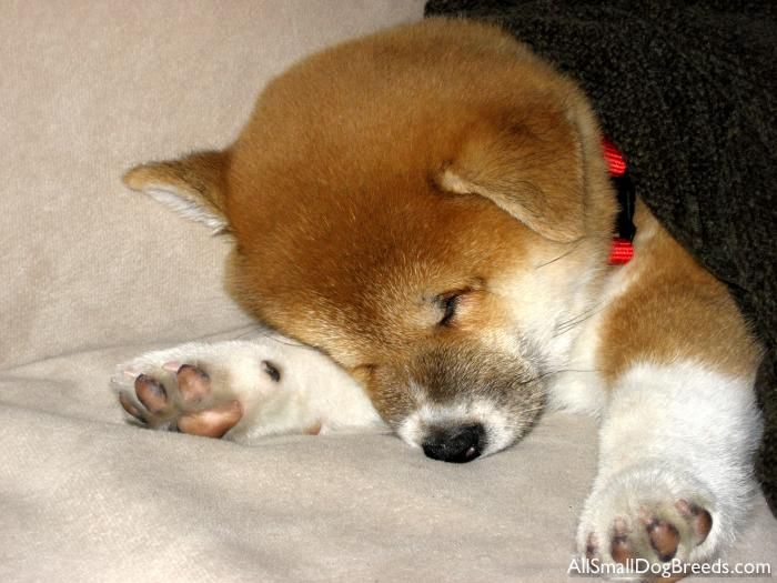 Best Shiba Inus Images On Pinterest Shiba Inu Doge And Akita - Three shiba inus stick their heads through wall to greet passers by