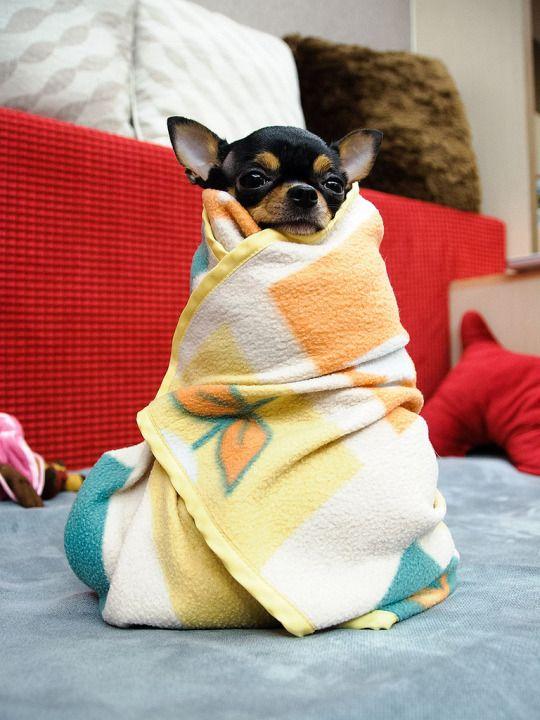 Chihuahua Love!