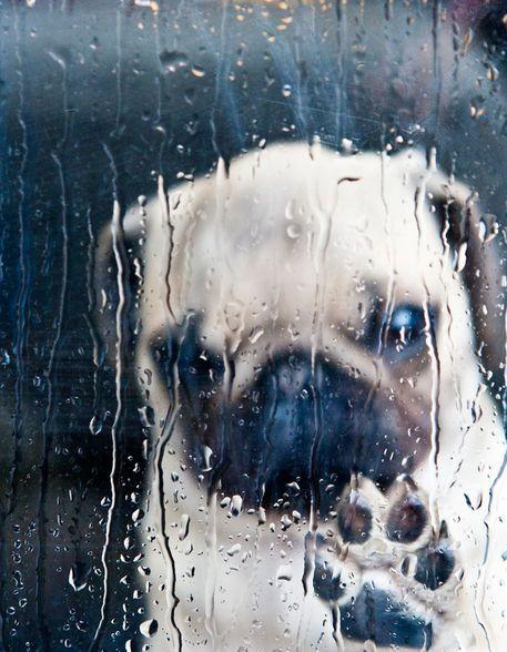 'Regenwetter-Mops' von Beate Zoellner bei artflakes.com als Poster oder Kunstdruck $18.03