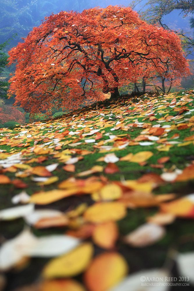 Colorfall by Aaron Reed via 500px. Japanese Maple, Oregon
