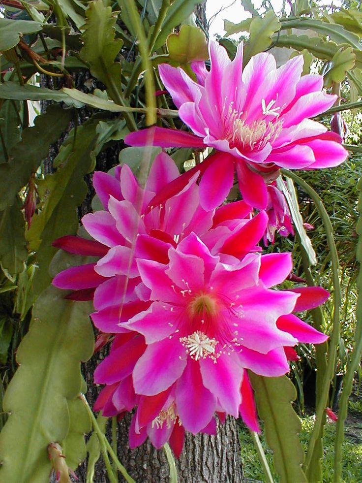 Epiphyllum | Epiphyllum Iridescence
