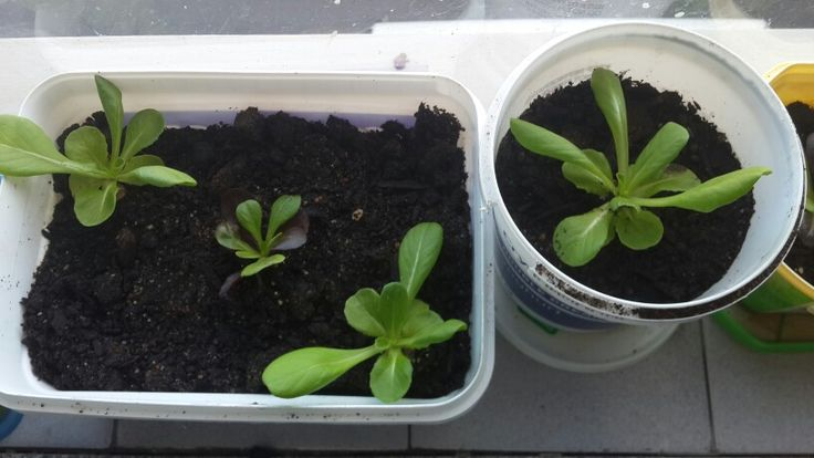 Window sill seedlings