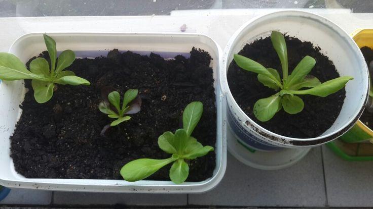 Window sill seedlings