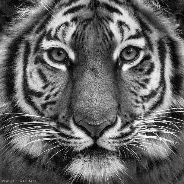 photo de tigre ne noir et blanc
