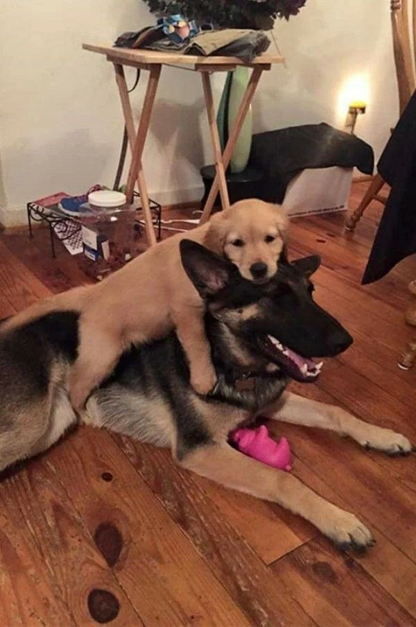 German Shepherd and his friend - a Golden Retriever puppy!