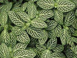 A prateadinha é uma herbácea perene, de folhagem muito ornamental e aspecto compacto. Suas folhas são simples e pequenas, de formato elíptico-ovalado. Sua beleza está no grande contraste entr...