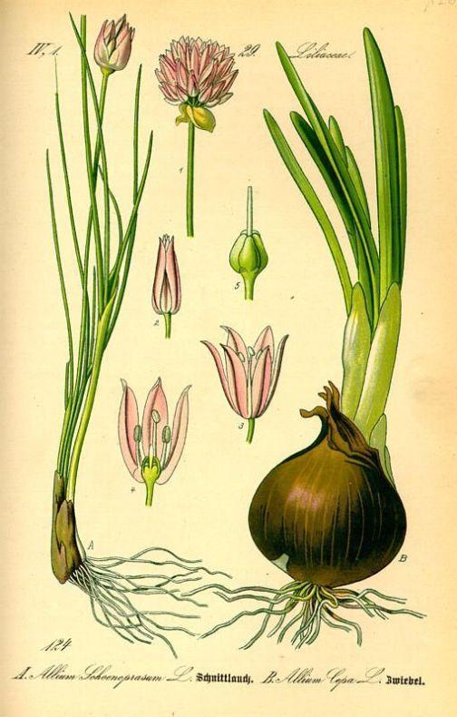 Allium cepa Ui