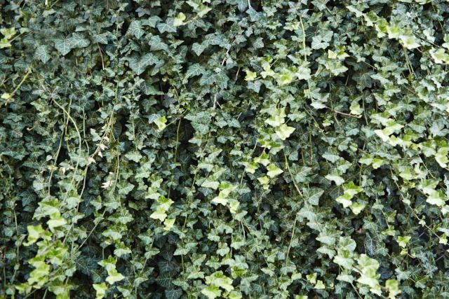 English Ivy Plants - Picture, Warning, Growing Tips
