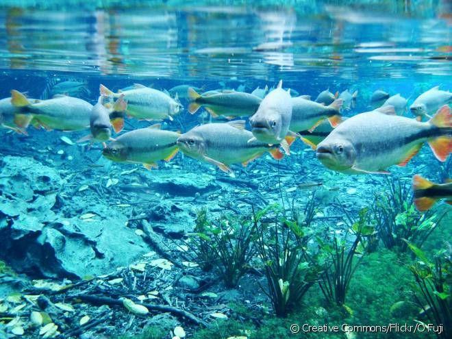 BONITO! NATUREZA E CONFORTO NO MATO GROSSO DO SUL  Aquário Natural: Bem diferente do que estamos acostumados, uma visita no Aquário Natural de Bonito não se resume a apenas ficar olhando os peixes de fora não. Lá, você poderá flutuar sob o rio Baía Bonita e ver de pertinho peixes e plantas.