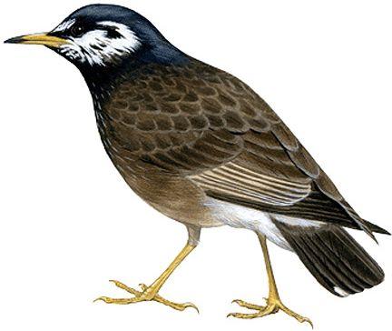 ムクドリ|日本の鳥百科|サントリーの愛鳥活動