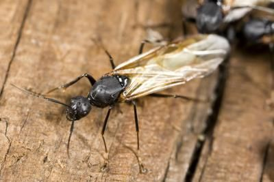 How to Tell Termites From Flying Ants