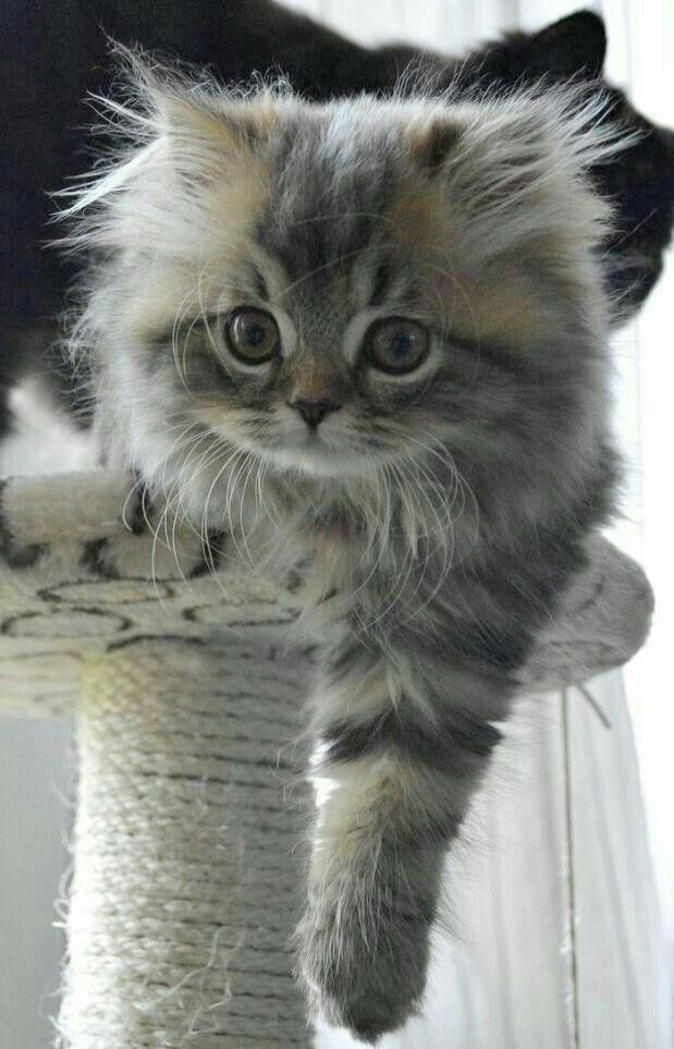 Long Hair Silver Tabby Look At The Size Of Those Feet Raining Cats And Dogs Cute Baby Animals Pretty Cats