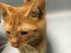 ***TO BE DESTROYED 09/01/16*** RINGWORM IS TOTALLY TREATABLE BUT AMBER THE 2 MONTH OLD KITTEN WILL BE KILLED FOR IT!! AMBER has ringworm and conjunctivitis. Ringworm is treated with anti-fungal cream and meds and conjunctivitis is also treated with antibiotic ointment and meds if needed. Sadly, this cute kitten is going to die for having this. Someone found little AMBER and brought him too the ACC because she felt bad. So someone thinking they were helping this kitten, was probably misled…