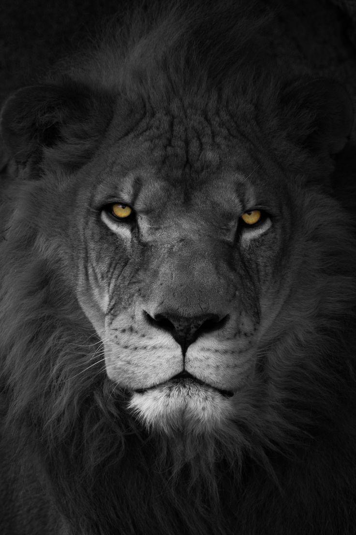 картинка черная лев