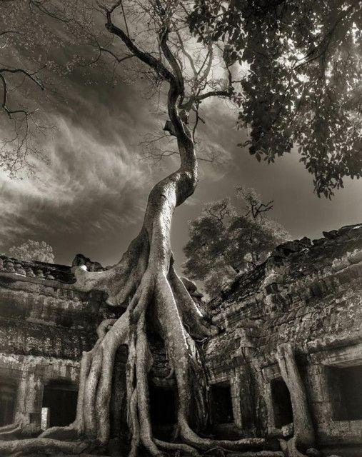 Dünya'nın en eski ağaçları. Sanatsal fotoğraf albümü. - SüPERiLERi