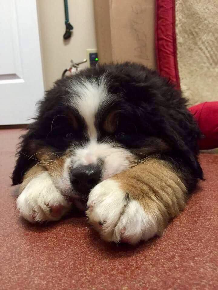 Pin By Kathy Nangle On Puppies Big Puppies Dogs Puppy Paws