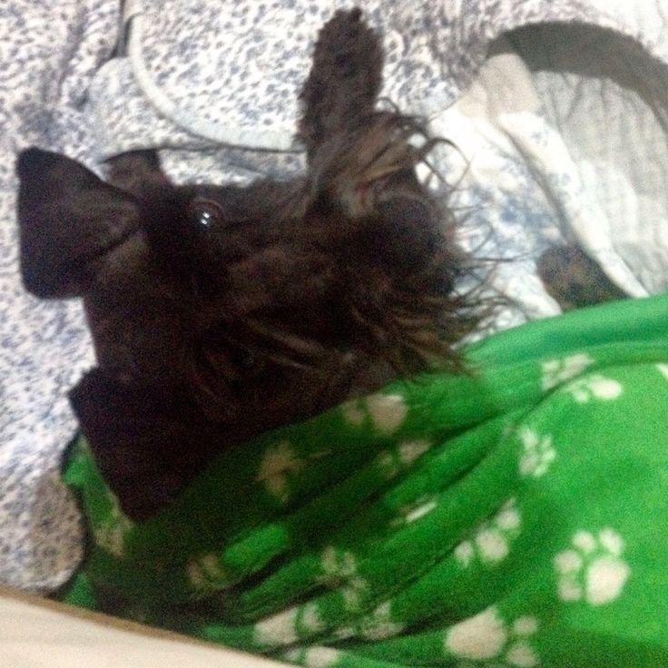 La guardiana que nos cuida en el cuarto.   #Isi #Dog #Schnauzer