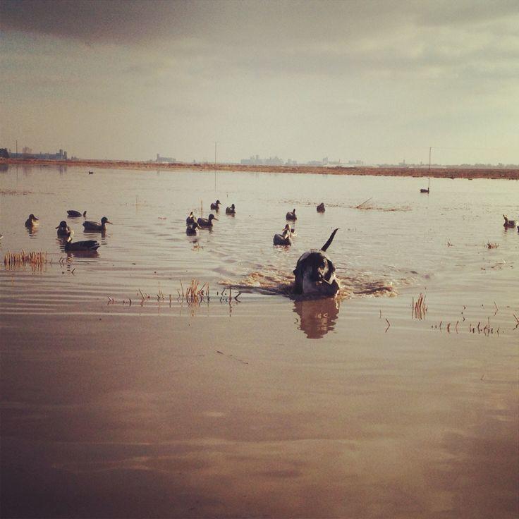 My black lab Lucy retrieving a duck in Stuttgart, AR