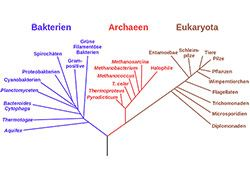 Nur noch zwei Äste am Lebens-Stammbaum? Nach Ansicht der Forscher lassen sich daraus zwei Schlüsse ziehen: Die neuentdeckte Gruppe der Archaeen, die Lokiarchaeota, sind enger mit den Eukaryota verwandt als mit den restlichen Archaeen – sie bilden die Schwestergruppe aller zellkerntragenden Organismen.