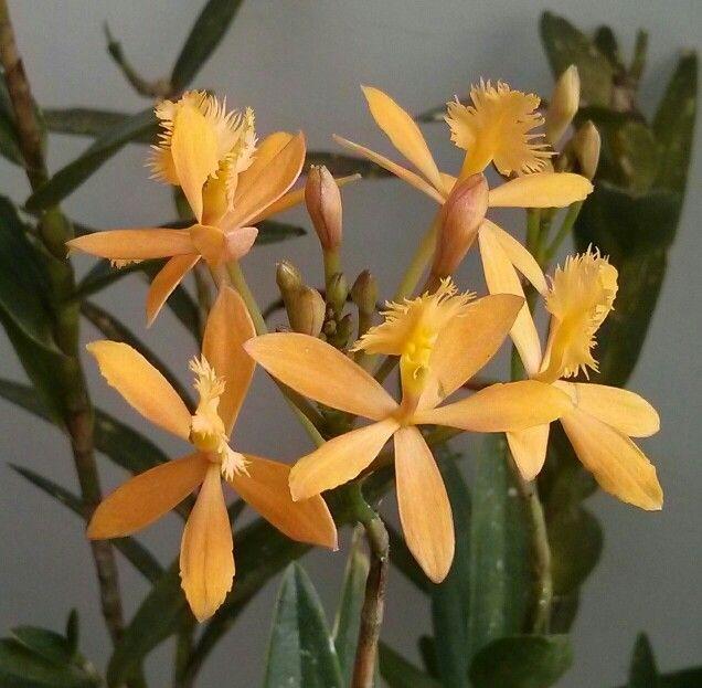 Epidendrum radicans var ballerina