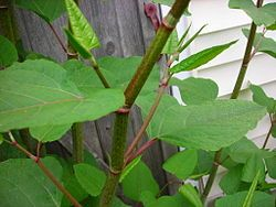 Japanese knotweed - Wikipedia summary which is a good starting point.  We have it at our house.  It was there when we bought the house 5 years ago.  It will probably, in spite of my determined efforts, still be here when we die.  It's only slightly comforting to know that we can eat the young shoots...if we are starving to death.  It's not recommended because it may aggravate arthritis and some other conditions. This weed -can be easily treated and got rid of Call us for free advice and…