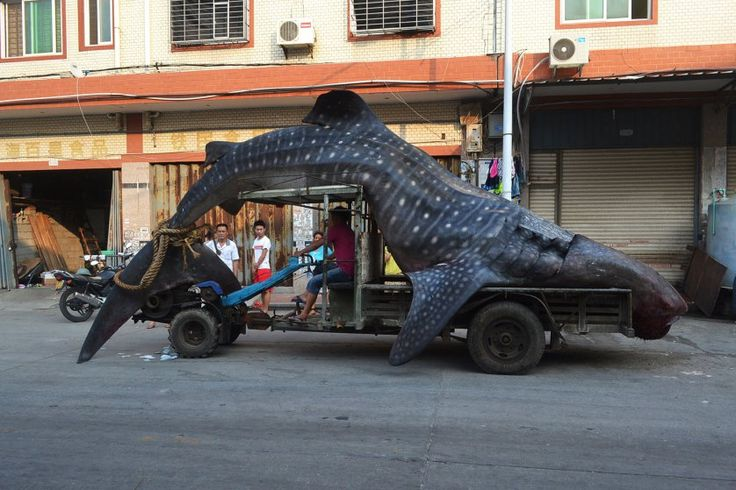 A dead whale shark, caught by local fishermen, is transported on a tractor in a seafood wholesale market, in Xiangzhi township in Quanzhou, east China's Fujian province, Aug. 1, 2014.