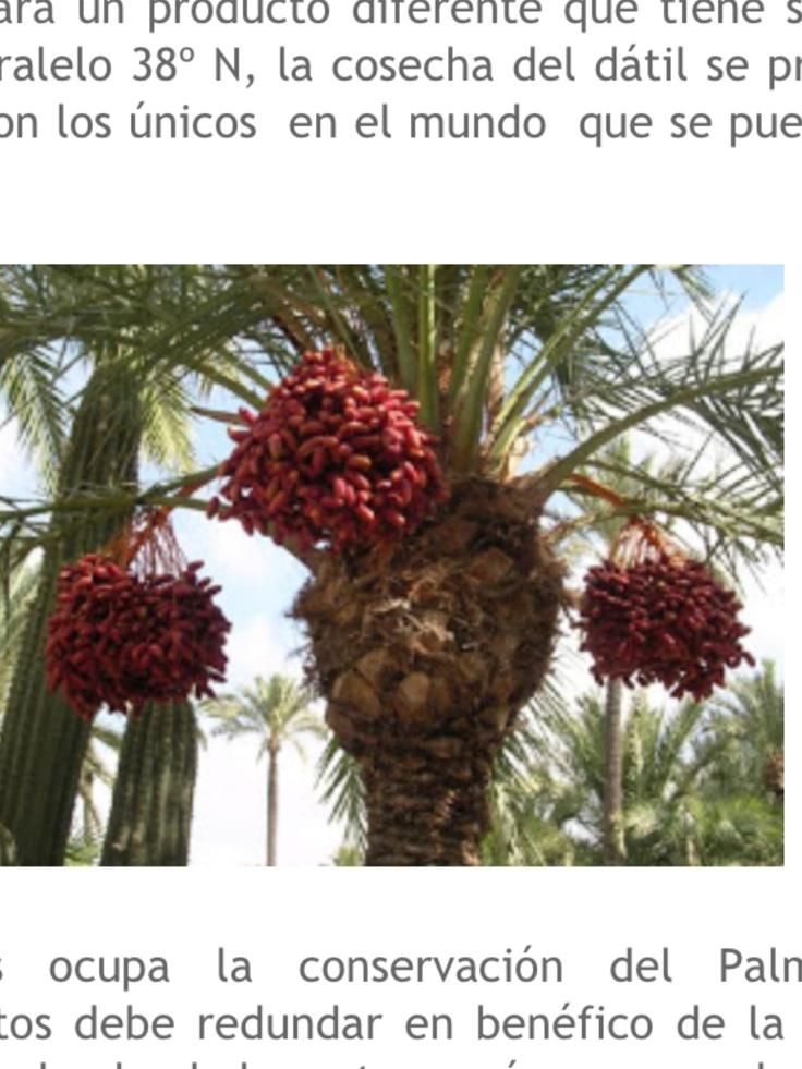 Dátil, fruto de la palmera. Cada palmera es única en sabor. ELCHE ( Alicante ) España