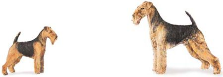 ...the differences between welsh terriers & airedales explained @ milesandemma.com