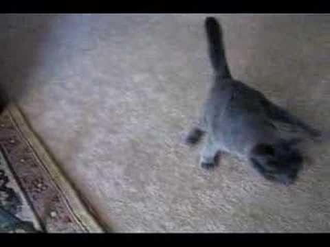 Funny Cat Video - Drunk Cat - Retarded Cat -  Little Bobbi - http://www.kittytalent.com/2014/12/funny-cat-video-drunk-cat-retarded-cat-little-bobbi/