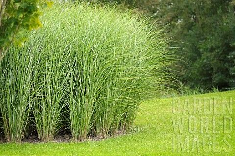 MISCANTHUS SINENSIS GRACILLIMUS - you need a large garden for this size