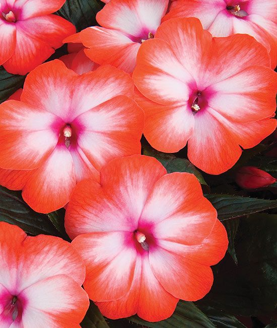 Tangerine Tango New Guinea Impatiens. They may help me get over my dislike of impatiens. Adore the orangey colou.