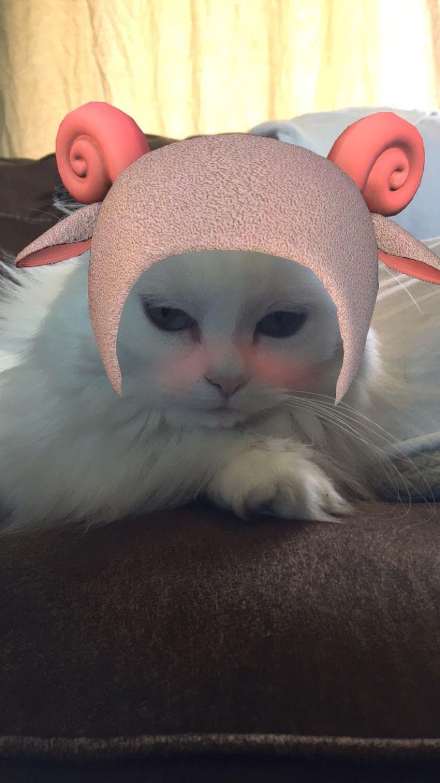 follow me on IG missbettywhite2009 #cat #lol #whitecat #betch #bitch #longhairdontcare #funny #humor #animals #pets #rescue #bettywhite #snapchat #sheep #pink #blush #bah #ba