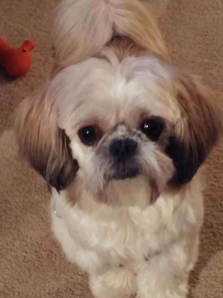 Shih Tzu Brushes Buyers Guide Shih Tzu Dog Shih Tzu Shih Tzu Puppy