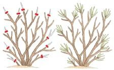 How to Prune Your Trees and Shrubs by lowes: There are four basic pruning cuts, each aimed at producing a different effect. Learn when to pinch, head, shear, and thin. #Trees #Shrubs #Pruning
