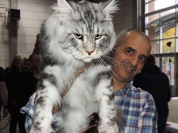 21 Riesen-Katzen: Die vermutlich größten Stubentiger, die du je gesehen hast!