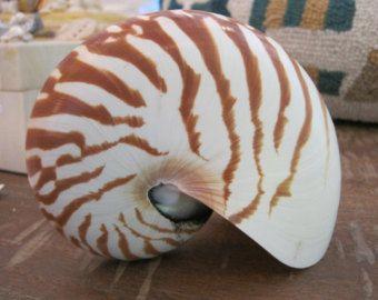 Natürliche Nautilus Muschel   Küsten Wohnkultur   Muscheln   Hochzeit Am  Strand   Muschel Versorgung