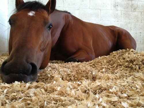 startinggate: Jockey Emma-Jayne Wilson snapped a photo of one of Stronach Stables' steeds napping quite leisurely at Palm Meadows. River Rush was the winner of last year's Plate Trial Stakes at Woodbine by a dominating 5 1/4 lengths.