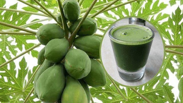 Las hojas de papaya son muy útiles para curar el cáncer, la fiebre del dengue y para una buena salud. Según los investigadores los fitonutrientes en las hojas son grandes antioxidantes, impulsando en gran medida
