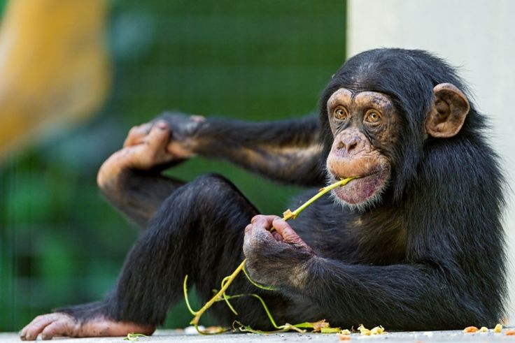 Cute and young chimp with a twig - Foter Attribution Required No Modifications Commercial Use OK