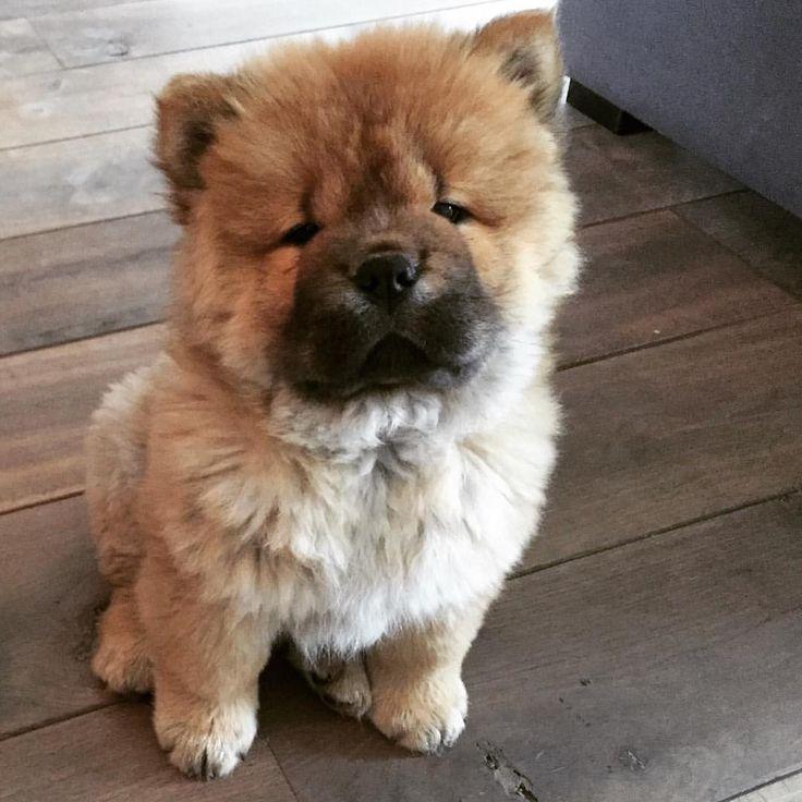 Good Chow Chow Chubby Adorable Dog - e5a2df4edaee0ffab94fb39df39c906c--chow-chow-ps  Graphic_119262  .jpg