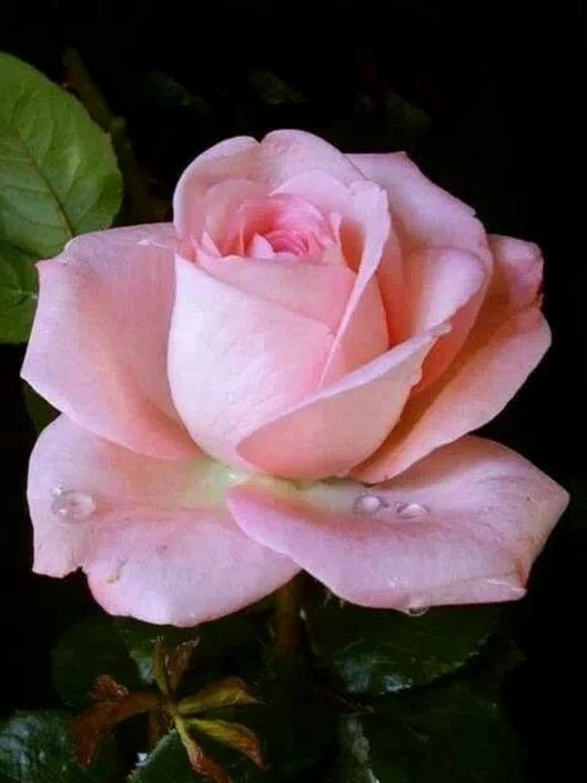 Photo Pictures Flowers Roses Pink Roses