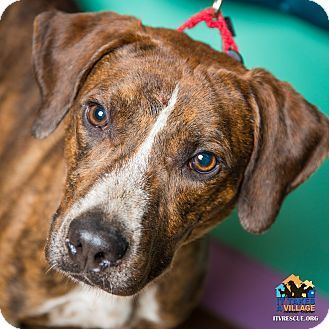 Evansville, IN Boxer Mix. Meet Bruno, a dog for adoption