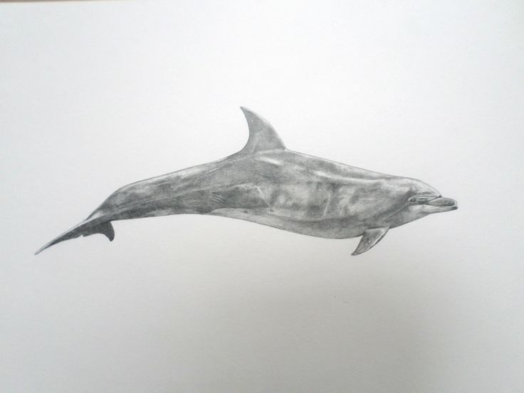 25+ best ideas about Common bottlenose dolphin on ...