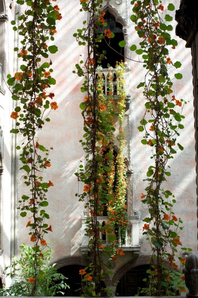 Olde Fashioned Trailing Nasturtiums In Boston Mass Usa
