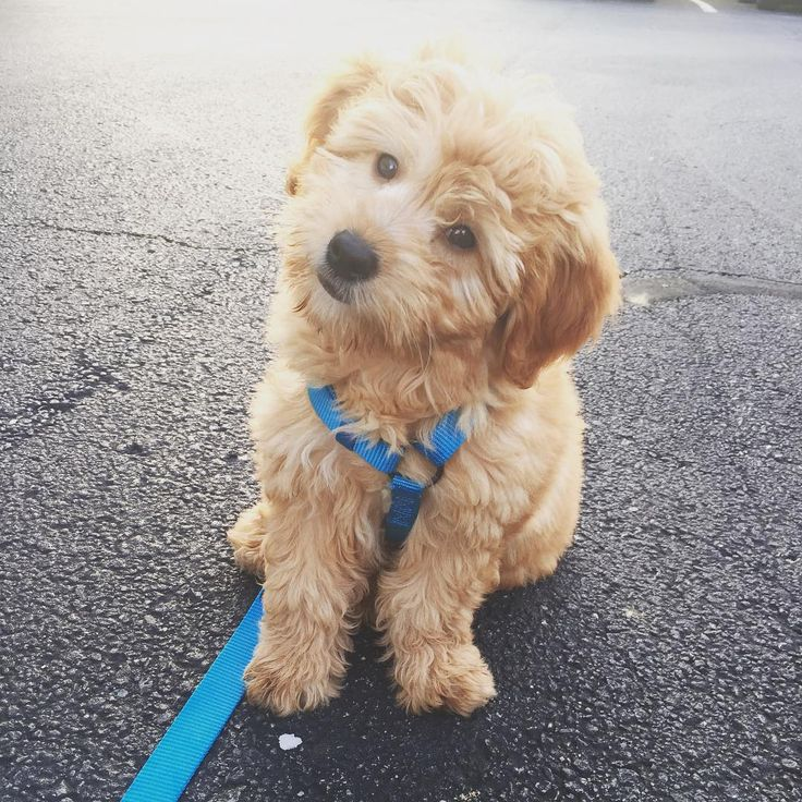 MINI GOLDENDOODLE Carter Lee Pinterest Cute pups