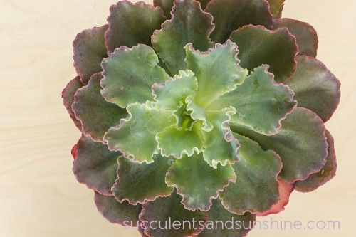 Echeveria Blue Curls - What to Look for When Buying Succulents - Succulents and Sunshine