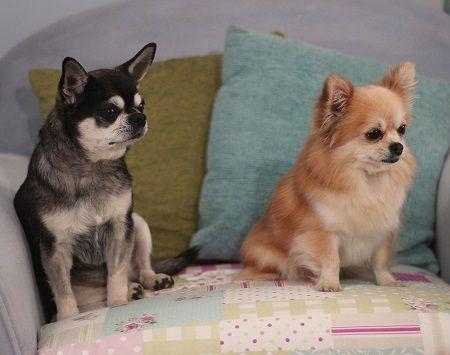 Dogs Needing Adoption Cute Chihuahua Dogs Chihuahua