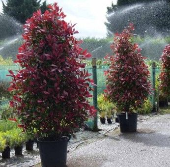 Photinia Fraseri Red Robin C 244 Ne Plants Patio Trees
